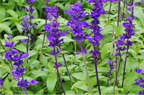 蓝花鼠尾草怎么养,4个步骤养殖茂盛