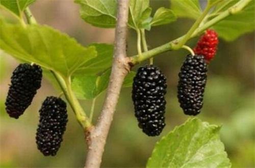 桑树的病虫害及其防治,白粉病需清洗植株并洒药