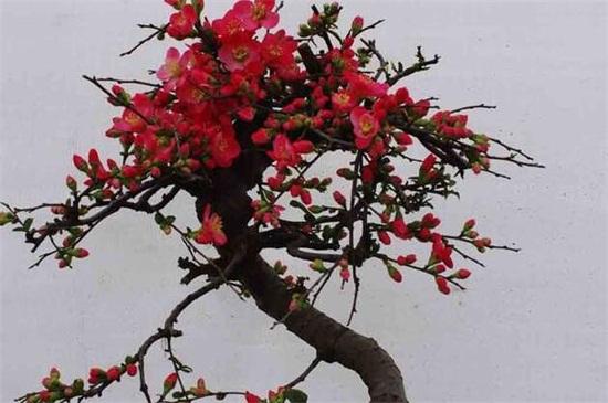 贴梗海棠盆景的制作和养护要点