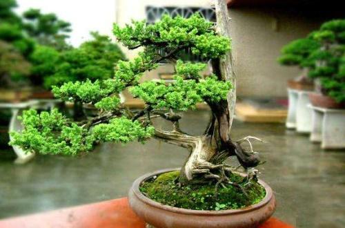 给榕树换土加什么肥料,豆饼肥或腐熟骨肥