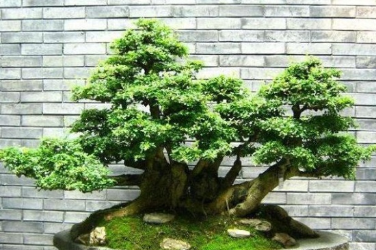 榕树盆景的风水作用,祛除百煞化解灾难
