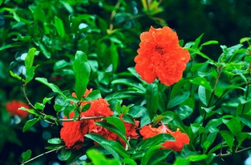 石榴花春天怎么养,浇水保湿并追施氮肥