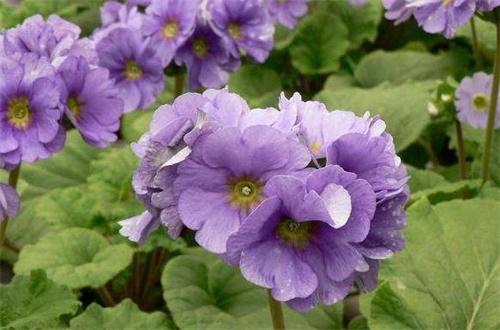四季樱草的繁殖方法,可播种分株繁殖