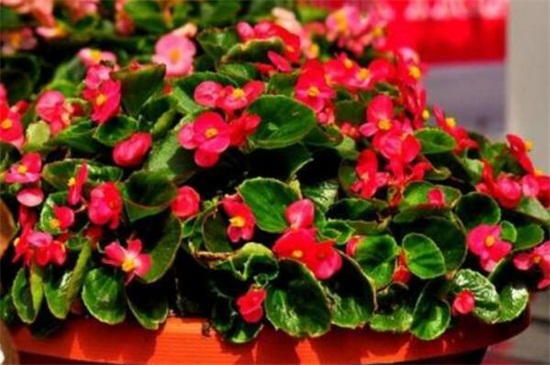 四季海棠种子图片_四季海棠的播种方法,春季选种催芽栽植管理