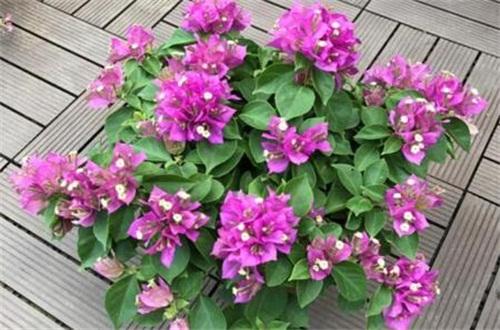 三角梅盆栽的养殖方法和注意
