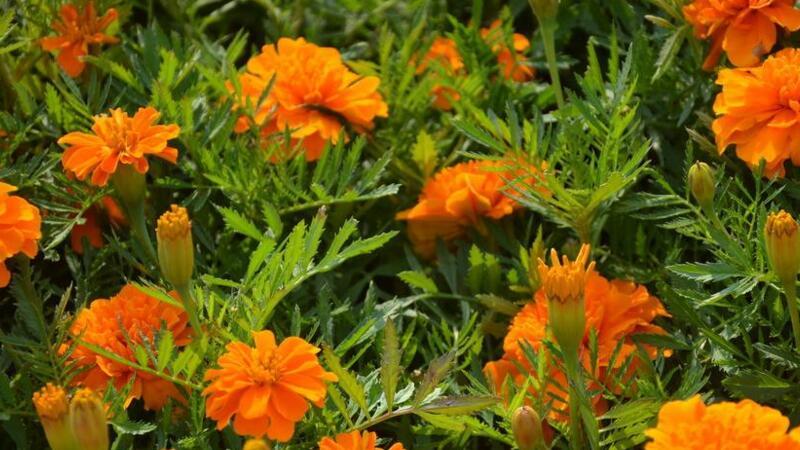 孔雀草和万寿菊的区别