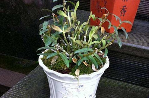 石斛怎么养好,肥沃土壤还要光照控温