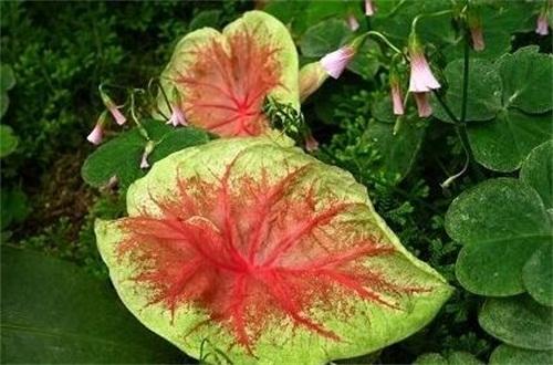 五彩芋(彩叶芋)什么时候开花,花期在3~4月
