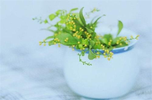 米兰花不长叶子怎么办,追施氮肥增温养护