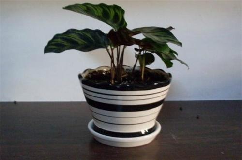 猫眼竹芋的繁殖方法,分株扦插均可繁殖