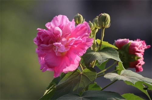 木芙蓉花的养殖方法和注意事