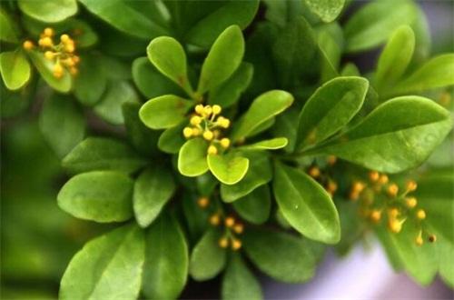 米兰花春季怎么养,增强光照追施肥修剪养护