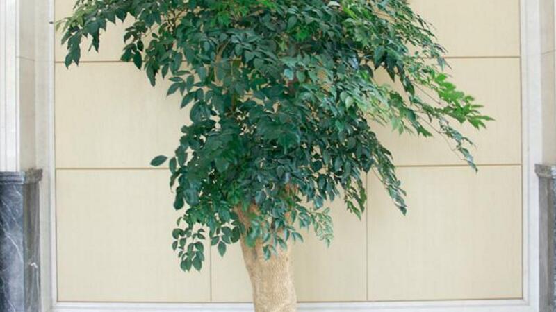 幸福树的养护
