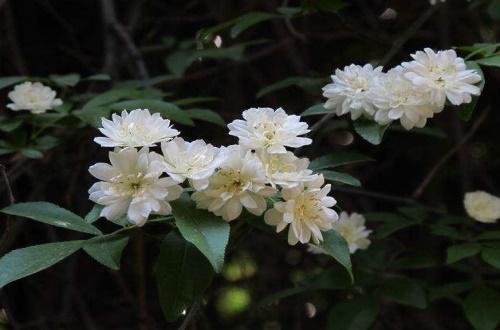 木香花和蔷薇花的区别