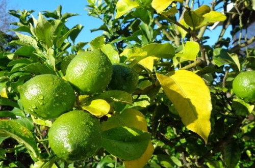 柠檬什么季节成熟,秋季9~11月份成熟