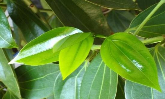 平安树秋天怎么养,通风养护巧施肥