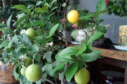 盆栽柠檬什么时候打顶,幼苗生长到20cm时打顶