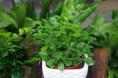 七里香种子怎么种,选种催芽配土栽植