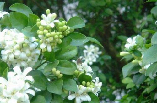 七里香的病虫害防治,白粉病需清洗植株洒药