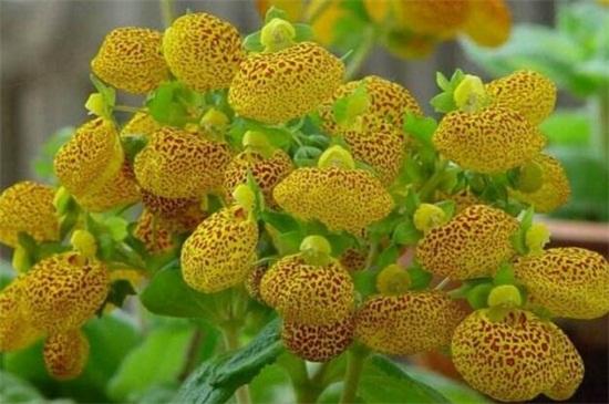 蒲包花花期怎么养护绿植屋,4个步骤控温养护植株