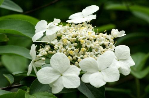 琼花的花语和传说,寓意美丽浪漫象征美好爱情