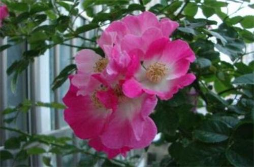 蔷薇花秋天怎么养,光照修剪枝条追肥养护