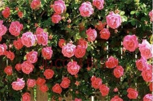 蔷薇花春天怎么养,翻盆换土并追施养护