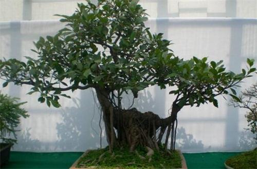 榕树盆景有什么作用,可供观赏还能入药