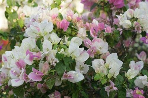 春天三角梅开花吗