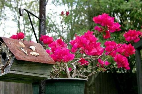 花叶三角梅的养殖方法和注意事项,浇水确保土壤湿润