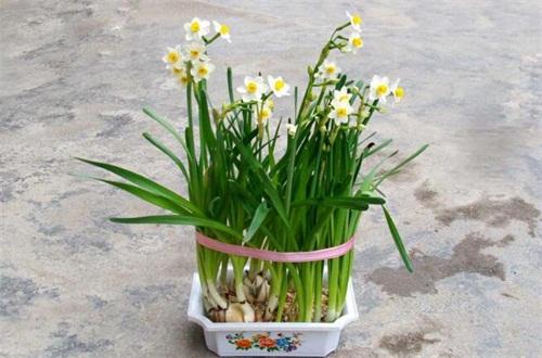荷兰洋水仙花怎么种植,种球处理配土栽植