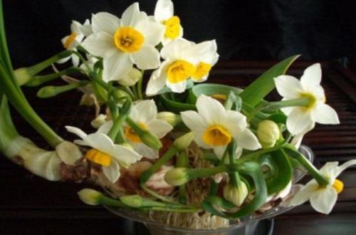 水仙花的花语和象征是什么,寓意美满相聚象征不悔青春