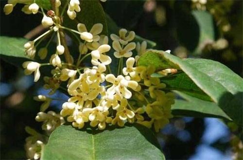 四季桂和银桂的区别,植株叶片形态不同