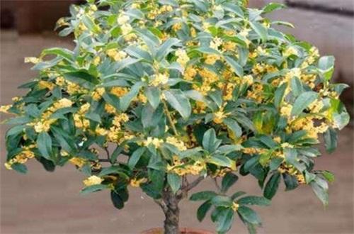 四季桂种子怎么种,种子催芽盖土栽植养护