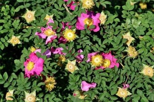 缫丝花什么时候开花,花期在5~7月
