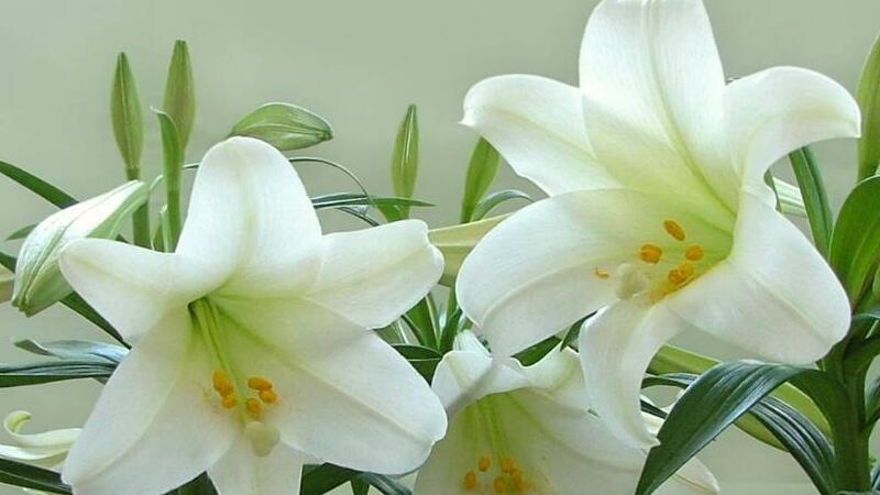 香水百合什么时候开花