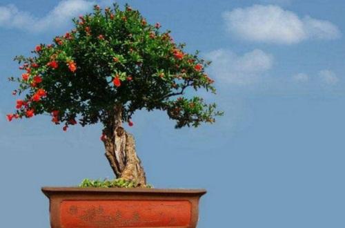 石榴花虫害及防治办法,茎窗蛾需虫洞消毒修病枝