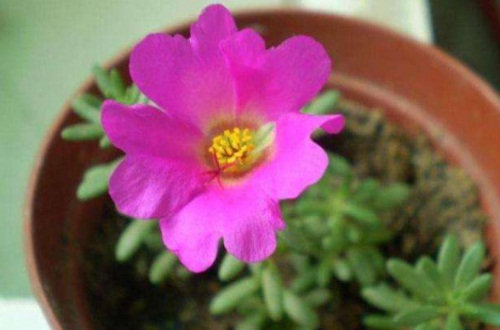 太阳花的主要价值,制药净化空气观赏性高