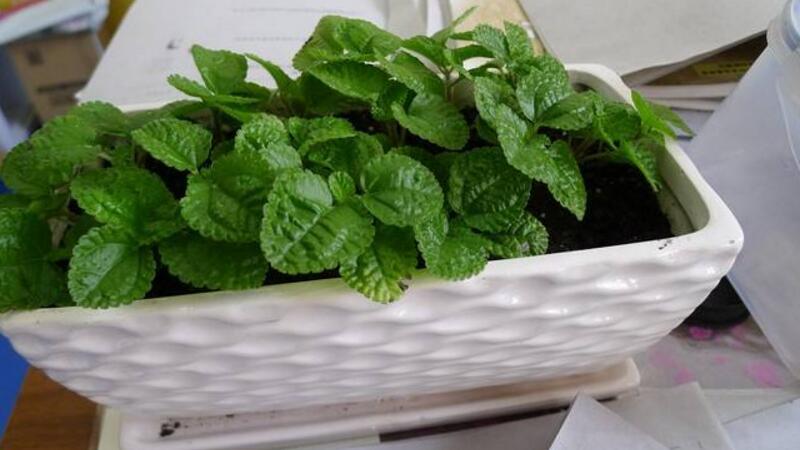 吸毒草的養殖方法和注意事項