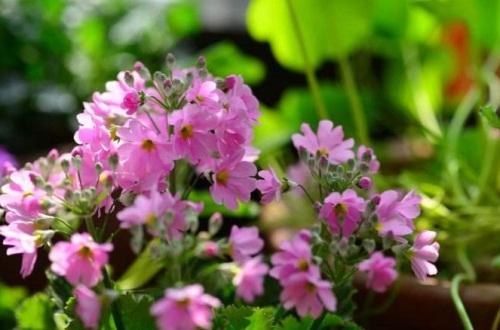 四季樱草的功效和作用,清热解毒美化家居