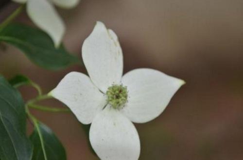 四照花的主要价值,美化环境净化空气