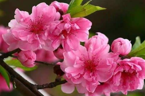 桃花秋天怎么养,涂白保温控水施肥