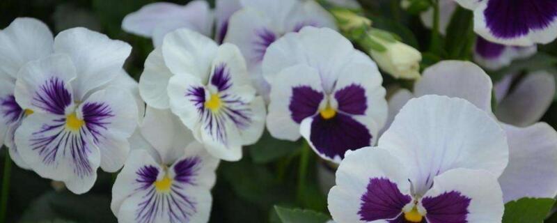 白蝴蝶花花语