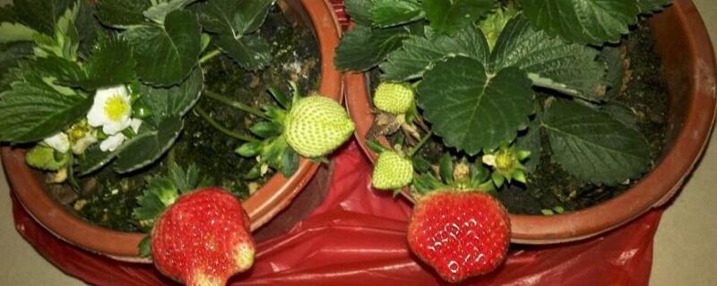 草莓的茎是什么
