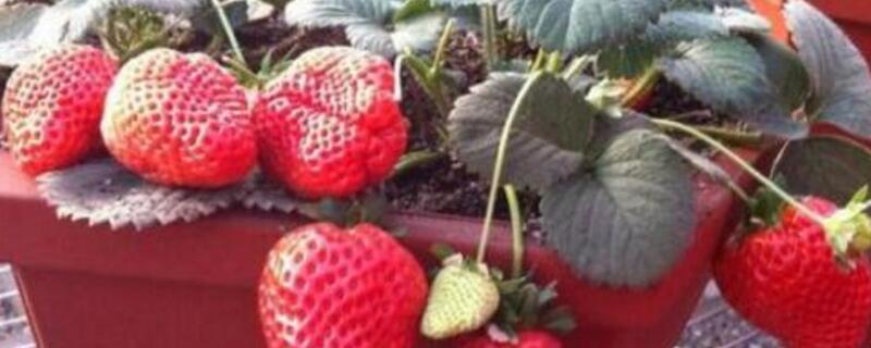 草莓开花不结果怎么办