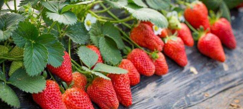 草莓上面的籽可以种吗