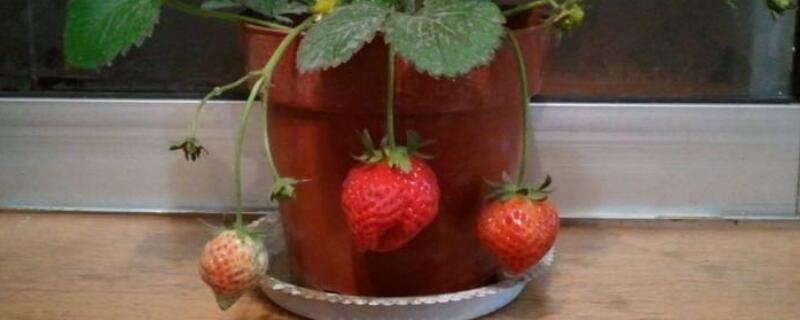 草莓喜水吗