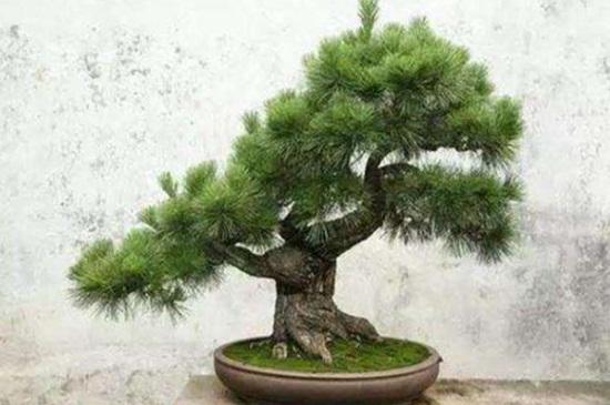 蓬莱松的繁殖方法,分株繁殖需切取丛根