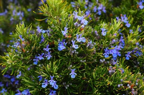 鼠尾草的食用和药用effect,增加香气清热解毒