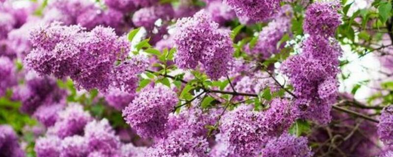 丁香花代表什么含义